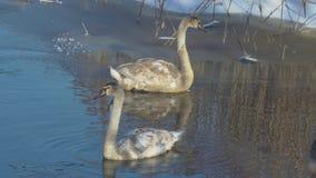 Cisnes de la invernada en la charca