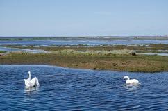 Cisnes de la primavera Imágenes de archivo libres de regalías