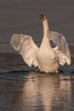 Cisnes 5 de Littleton Imagem de Stock Royalty Free