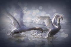 Cisnes de lucha Imagen de archivo libre de regalías