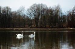 Cisnes de Minsk Foto de archivo libre de regalías