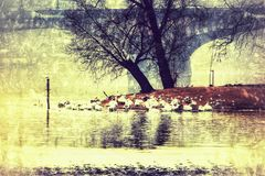 Cisnes de Praga Imagen de archivo