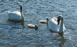 Cisnes de Shipunov da família com os pintainhos no lago Fotos de Stock