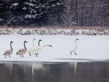 Cisnes de trompetista Foto de archivo libre de regalías