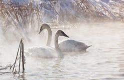 Cisnes de trompetista Imagens de Stock