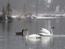 Cisnes de trompetista Imagen de archivo libre de regalías