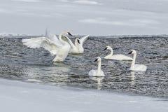Cisnes de trompetista Fotos de archivo libres de regalías