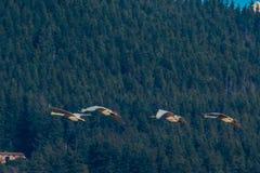 Cisnes de trompetista Fotos de Stock Royalty Free