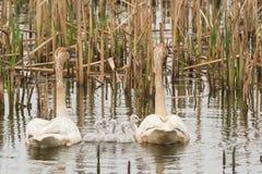Cisnes de trompetista Fotografía de archivo libre de regalías