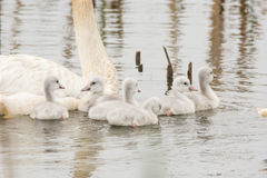 Cisnes de trompetista imagem de stock