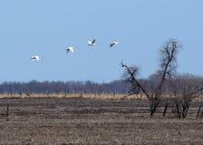 Cisnes de trompetista em voo Foto de Stock Royalty Free