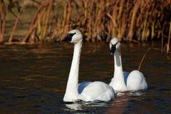 Cisnes de trompetista en el agua Foto de archivo