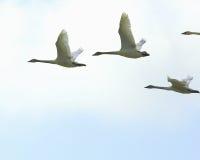 Cisnes de trompetista en vuelo Imagen de archivo libre de regalías