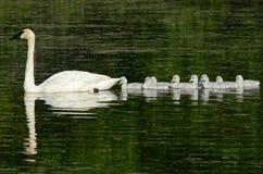 Cisnes de trompetista que nadam o único arquivo na lagoa imagem de stock