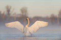 Cisnes de Trumpter Imagens de Stock