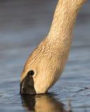 Cisnes de Trumpter Fotos de Stock Royalty Free