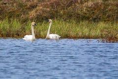 Cisnes de tundra Imagenes de archivo