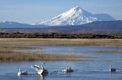 Cisnes de tundra abaixo da montagem Shasta imagem de stock