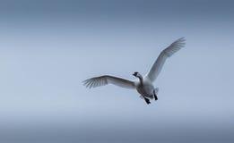 Cisnes de tundra durante el vuelo, viniendo en usted. Fotografía de archivo
