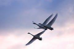 Cisnes de tundra em vôo Imagem de Stock