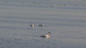 Cisnes de tundra en el agua metrajes