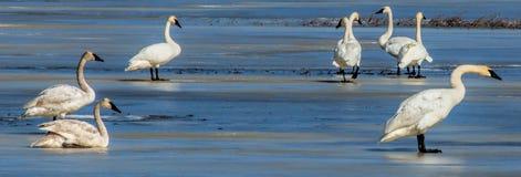 Cisnes de tundra en el hielo Fotografía de archivo libre de regalías