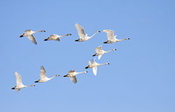 Cisnes de tundra en vuelo Imagen de archivo