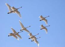 Cisnes de tundra no vôo Foto de Stock Royalty Free