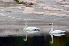 Cisnes de Whooper Imagenes de archivo