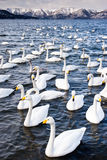Cisnes de Whooper Foto de Stock