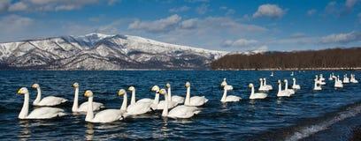 Cisnes de Whooper Fotos de archivo