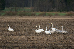 Cisnes de Whooper fotografia de stock