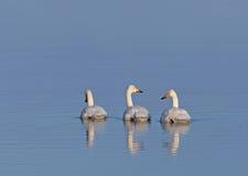 Cisnes de Whooper Imagem de Stock