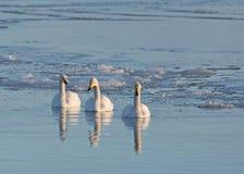 Cisnes de Whooper Imagens de Stock