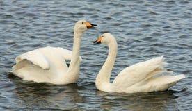 Cisnes de Whooper Foto de archivo libre de regalías