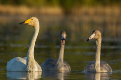 Cisnes de Whooper familly Foto de Stock Royalty Free