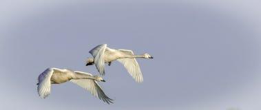 Cisnes de whooper jovenes Imágenes de archivo libres de regalías
