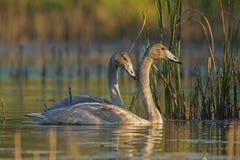 Cisnes de Whooper y el web de araña Imagen de archivo