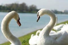 Cisnes del amor Imagenes de archivo