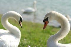Cisnes del amor Imágenes de archivo libres de regalías