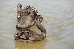 Cisnes del amor Fotos de archivo