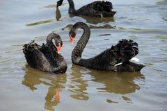Cisnes del amor Foto de archivo libre de regalías