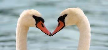 Cisnes del amor Imagen de archivo libre de regalías