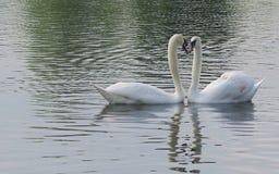 Cisnes del amor Fotos de archivo libres de regalías