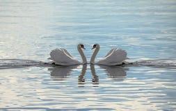 Cisnes del amor - cisnes que hacen un corazón Foto de archivo libre de regalías