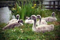 Cisnes del bebé Fotografía de archivo libre de regalías