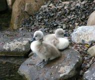 Cisnes del bebé Foto de archivo libre de regalías