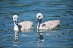 Cisnes del bebé Imagen de archivo libre de regalías