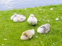Cisnes del bebé por el lago imágenes de archivo libres de regalías