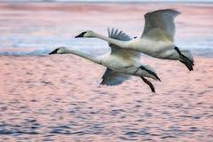 Cisnes del invierno Imágenes de archivo libres de regalías